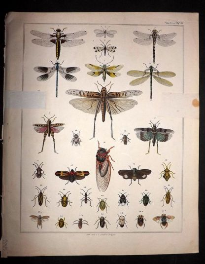 L. Oken 1843 Antique Hand Col Print. Insects 15